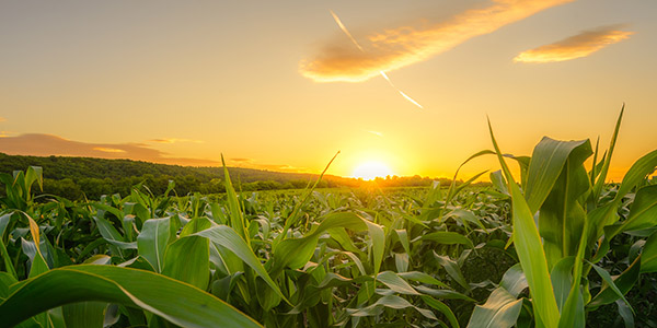 Corn crop up close at sunset