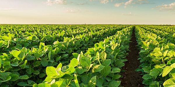Soybeans growing in a field